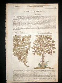 Gerards Herbal 1633 Hand Col Botanical Print. Larch Tree